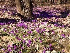 На #Закарпатье распустился один из самых #первых #весенних цветков – #шафран, или #крокус.