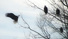 Bald eagles in central Maine. #baldeagles #silvertonsportingranch #mainewildlife #visitmaine