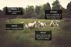 Sheep - phocab.net
