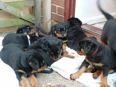 "Determine additional info on ""rottweiler puppies"". Check out our web site. Rottweiler Breeders, Rottweiler Funny, Big Dogs, I Love Dogs, Dog Items, Mans Best Friend, Fur Babies, Dog Breeds, Dog Lovers"
