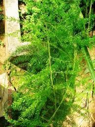 ശതാവരി Back To Nature, Trees To Plant, Kerala, Greenery, Seeds, Flowers, Plants, Tree Planting, Plant