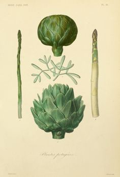 Asparagus, Samphire and Artichokes. Plants for Salads. Plate from 'Jardin Potager' by F. Herincq and Frederic Gerard. Published 1870 by L. The LuEsther T Mertz Library, the New York Botanical. Vegetable Illustration, Art Et Illustration, Botanical Illustration, Botanical Drawings, Botanical Prints, Sibylla Merian, Horticulture, Impressions Botaniques, Illustration Botanique