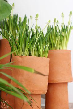 Oravanpesä   Helmililja l. helmihyasintti muscari Planter Pots, Herbs, Diy, Food, Bricolage, Eten, Herb, Diys, Handyman Projects