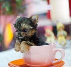 Teacup Yorkshire Terrier | Teacup Yorkshire Terrier puppies for sale in Greater Manchester ...