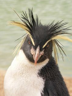 Image detail for -Penguin's bad hair day (Photo: Cristipher D. Baker )