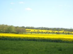 Rapeseed oil fields, Redwall Lane, Kent.