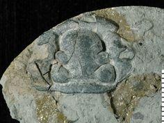 Fossiilid.info: Calymene flabellata
