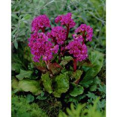 Hjertebergblomst, h 30-40 cm, planteavstand 30 cm. sol/halvskygge, blomstrer april-juni. Sprer seg med jordstengler - som kan brekkes opp til flere planter når det er godt med røtter under hver plante.