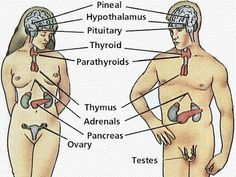Anatomy and Physiology of Endocrine System