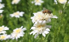Busy bee on Aster.