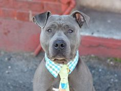 SAFE ❤️ 4/11/16 Brooklyn Center JOE JOE – A1069485 MALE, GRAY / WHITE, AM PIT BULL TER MIX, 4 yrs OWNER SUR – EVALUATE, NO HOLD Reason PERS PROB Intake condition EXAM REQ Intake Date 04/06/2016, From NY 11226, DueOut Date 04/06/2016, Urgent Pets on Death Row, Inc