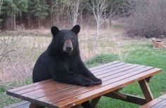 This actually happened to my brother - they went out one day and a bear was sitting at their picnic table eating an apple