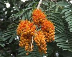 Colvillea racemosa-Colville's Glory tree -Seeds from Colville's Glory tree or Colvillea racemosa, Whip tree from Madagascar. It's a rare flowering tropical tree difficult to find and cultivate. It's conservation status is 'Near Threatened'.