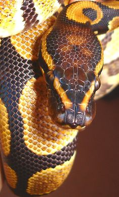 'Royal Python ' by Kate Towers Art & Photography Reptiles And Amphibians, Mammals, Spiders And Snakes, Colorful Snakes, Ball Python Morphs, Snake Art, Mundo Animal, All Gods Creatures, Beautiful Creatures