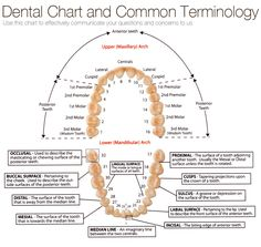 chart of tooth numbers and dental terms Archives - Tribeca Smiles Dental Assistant Study, Dental Hygiene Student, Dental Hygienist, Dental Implants, Dental Surgery, Teeth Surgery, Medical Students, Nursing Students, Humor Dental