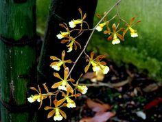 La orquídea de Guayaquil