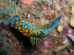 Tambja sagamiana from Hatsushima Island, Japan