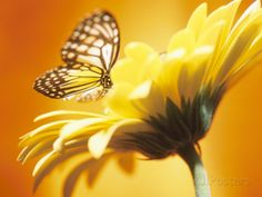 Black and Yellow Butterfly on Yellow Flower Photographic Print at AllPosters.com