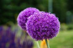 Dandelion, Flowers, Plant, Dandelions, Taraxacum Officinale, Royal Icing Flowers, Flower, Florals, Floral