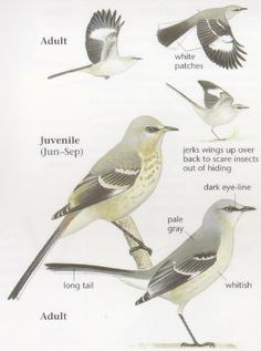 Northern Mockingbird characteristics and traits.  Note the spots on the breast of the juvenile that disappear as the bird matures.