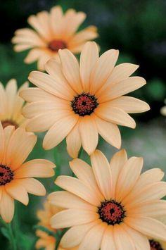 African Daisy  `❀'~❀'~❀~`❀'