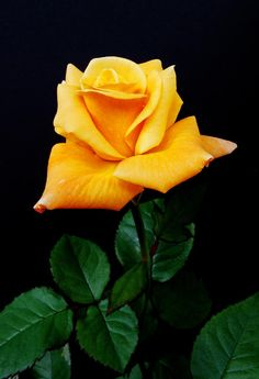 ✯ Yellow Rose,,,,que distinción de flor