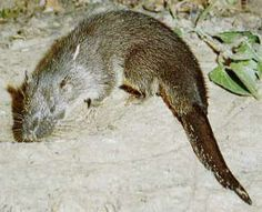 The giant otter shrew (Potamogale velox) is a semiaquatic, carnivorous tenrec. It is found in the main rainforest block of central Africa from Nigeria to Zambia, with a few isolated populations in Kenya and Uganda. It is monotypic of the genus Potamogale. Contrary to its name the giant otter shrew is not a true shrew (Soricidae) but a tenrec (Tenrecidae). (Wikipedia)