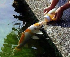 Koi Fish :o)