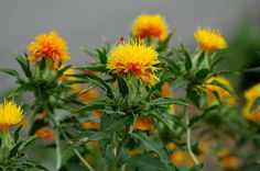 Learn how to grow safflower in this informative article. Growing safflower requires only minimal maintenance and care. Clusia, Echeveria, Fleur Orange, Belle Plante, Garden Web, Peat Moss, Safflower Oil, Wildflower Seeds, Oil Benefits