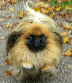 Run Pekingese run!=)