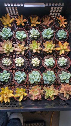 I have a large variety of all different types if succulent plants.  From green to purple to pink to blue colour.  All are very healthy with developed roots.I guarantee you my plants will give your garden a great kick start to a garden filled with nothing but lucious,healthy & colorful succulents you will be the envy of all your neighbour's.  Succulents in pots starting as little as  $3.50  for single plants which are a size of approximately 5-6 cm in width and in 8cm size pots.      I can…