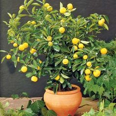 Dwarf lemon tree