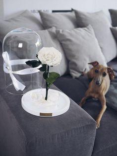Die weiße Rose steht für Reinheit! Die Rose für die Ewigkeit in zeitlosem Interior Design. Perfektes Einweihungsgeschenk, das als Blumen Tischdekoration im Wohnzimmer genutzt werden kann. Die Glas Kuppel verleiht der besonderen Geschenkidee ein luxuriöses und elegantes Flair.