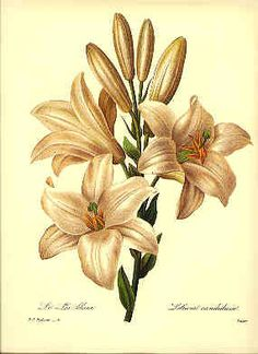 Redoute Botanical Print Lillium 76 Lily by BritmoreCottage