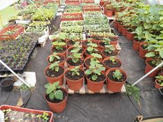 Návod na pěstování paulovnií   Paulownia kirl, tomentosa, shan tong, pao tong Z07, elongata, biomass Tonga, Succulents, Plants, Succulent Plants, Plant, Planets