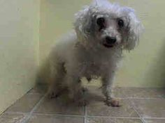 TO BE DESTROYED 8/10/14 Brooklyn Center -P  My name is PRINCESS. My Animal ID # is A1009407. I am a female white poodle min mix. The shelter thinks I am about 10 YEARS old.  I came in the shelter as a OWNER SUR on 08/05/2014 from NY 11373, owner surrender reason stated was NEW BABY. I came in with Group/Litter #K14-188935.