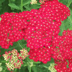 'Pomegranate' yarrow  Achillea millefolium Tutti Frutti 'Pomegranate' has deep red blooms that hold their color well in the garden. If deadheaded after the first flush of bloom, plants push out additional flowers up until hard freezes in fall. 24-30 inches tall and wide. Zones 3-9