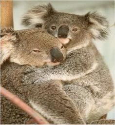 Koalas are very lazy creatures but are still so adorable!