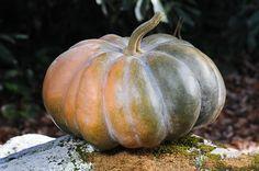Musque de Provence (Fairy Tale Pumpkin)