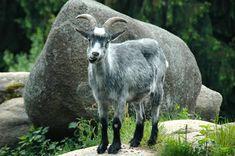 Mountain, Rock, Stones, Mountain Goat, Nature #mountain, #rock, #stones, #mountaingoat, #nature