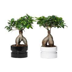 FICUS MICROCARPA GINSENG Plant met sierpot, bonsai, diverse kleuren