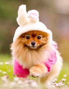 Pomeranian Easter Bunny #pomeranian Easter Bunny!