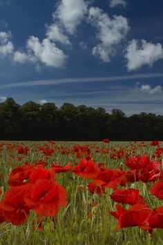 Poppies - http://www.photoradar.com/photos/136756/bendall/poppies