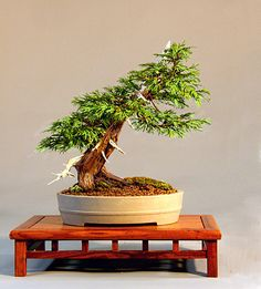 The Art of Bonsai Project - Feature Gallery: The Bonsai of Christine Hayward.  Eastern white cedar