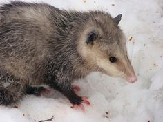 Fun Facts About Opossums #animals #wildlife