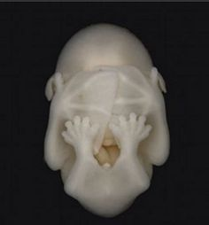 fruit bat embryo