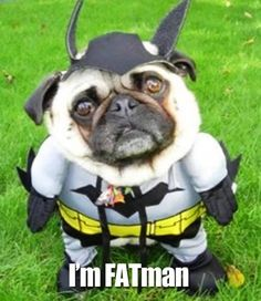 The Raleigh Post | Yes, this is a pug dressed up as Batman..  Might be the funniest thing I have seen today..  Everyone should dress up their pets..  Thanks for the pic..