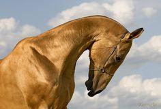 Akhal-Teke stallion Magnatli