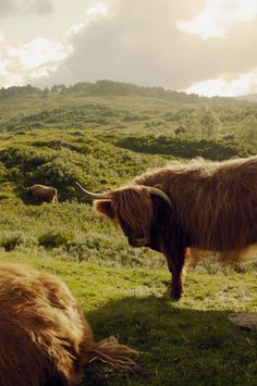 Heeland Coos on a hillside in Scotland.  Was there in 1997, need to go back.