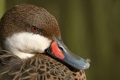 White-cheeked pintail (Anas bahamensis);  photo by Jeroen ten Haaf, via Flickr
